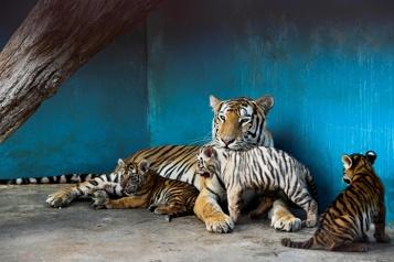 Une première tigresse blanche est née à Cuba)