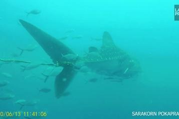 Un requin en mauvaise posture )