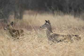 Parc Michel-Chartrand Longueuil à court d'options dans le dossier des cerfs de Virginie)