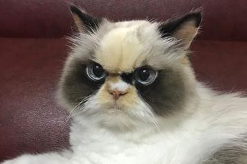 Le Grumpy Cat est mort, vive Meow meow!)