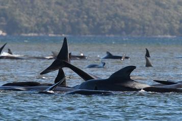 Tasmanie Course contre la montre pour libérer près de 200 cétacés coincés dans une baie)