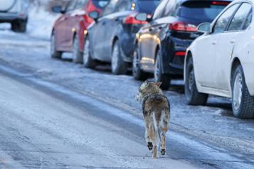 Montréal Où sont passés les coyotes?)