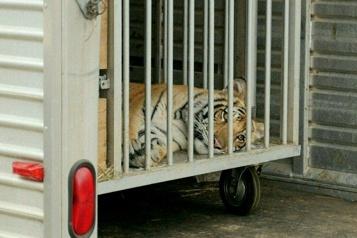 Texas Un tigre en fuite retrouvé après une semaine de recherches)
