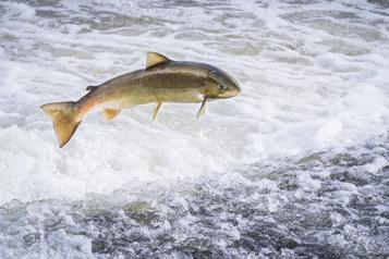 L'inquiétant déclin du saumon de l'Atlantique)