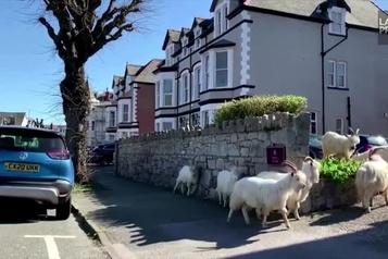 Des chèvres envahissent une ville déserte du pays de Galles