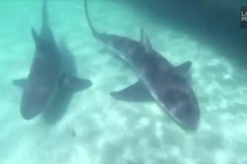 Une quarantaine de requins en plein festin)