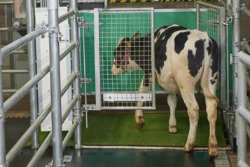 Les vaches envoyées aux toilettes pour réduire les gaz à effet de serre)