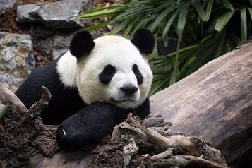 Le Zoo de Calgary renvoie ses pandas en Chine)