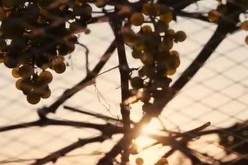 La minisérie Vif tournée dans les vignobles du Québec)