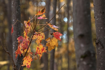 Changements climatiques: des érables dans laforêt boréale?