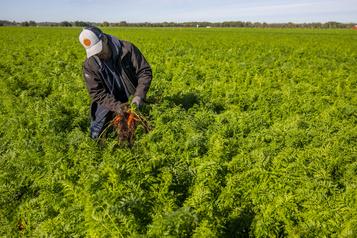 Mauvaise année pour les agriculteurs Les carottes sont cuites )