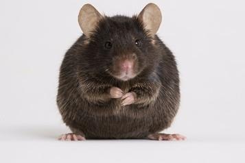 Chez les souris Mieux vaut un jeûne qu'un régime pour vivre vieux