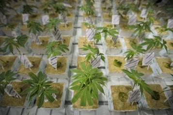 Cannabis: les Canadiens ont dépensé 908millions en 2019