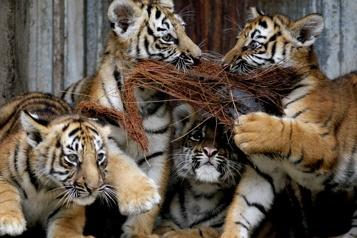 Un zoo mexicain présente ses quatre bébés tigres du Bengale