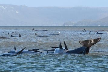 Australie: 180 cétacés coincés dans une baie tasmanienne )