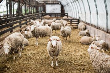 Le prix de l'agneau du Québec enchute