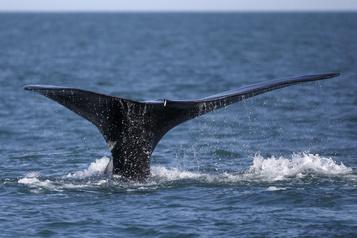 La limite de vitesse prévue pour protéger les baleines noires peu respectée)