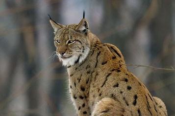 Floride: un mal mystérieux fait tituber lynx et panthères