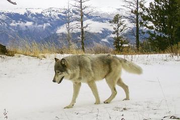 Le loup n'est plus une espèce protégée aux États-Unis)