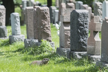 Des marmottes causent quelques désagréments au cimetière Notre-Dame-des-Neiges)