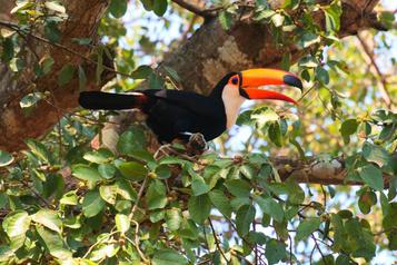 Le Pantanal, paradis brésilien debiodiversité)