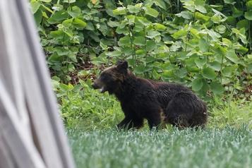 Japon Un ours abattu après s'être déchaîné à Sapporo)