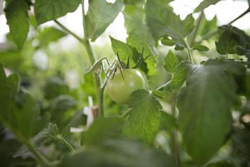 Semences non sollicitées: tomates, roses et… mauvaises herbes )
