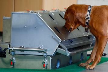 Les chiens pourraient détecter le coronavirus)