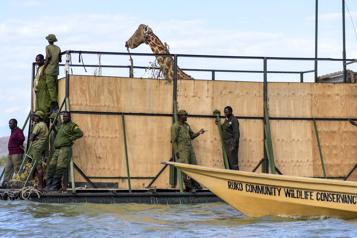Kenya : la dernière des neuf girafes en voie de disparition sauvée d'une île)