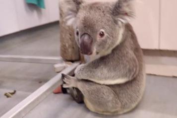 Un koala né avec une patte en moins peut enfin grimper aux arbres)