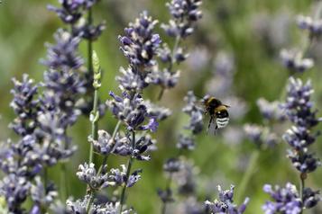 Le déclin des abeilles sauvages, une menace pour les cultures en Amérique du Nord)