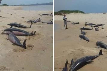 Plus de 110 dauphins retrouvés morts sur une plage du Mozambique)