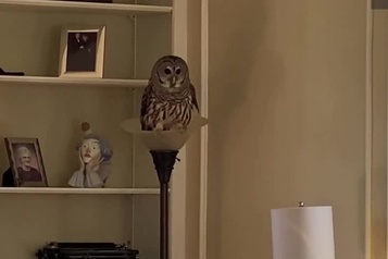 Une chouette rayée s'installe dans son salon)