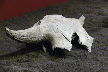 Un crâne de bison de 2400 ans retourné aux Siksika