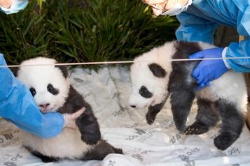 Les deux pandas du zoo de Berlin baptisés