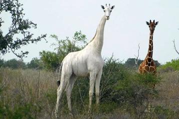 Kenya: l'unique girafe blanche femelle tuée par des braconniers