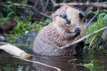 Réchauffement climatique: les castors se déplacent vers le Nord)