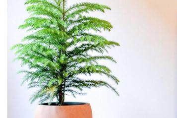 La plante du mois: Noël àl'année