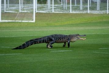 Un alligator à l'entra?nement du Toronto FC en Floride)