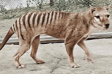 Espèce disparue Des images colorisées donnent un meilleur aperçu du tigre de Tasmanie