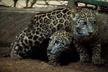 Nicaragua Deux jaguars sauvés des mains de trafiquants grâce aux réseaux sociaux)