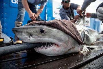Le grand requin blanc Brunswick s'éloigne des Îles-de-la-Madeleine
