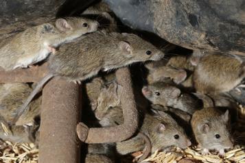 Australie: des détenus évacués en raison d'une invasion de souris)