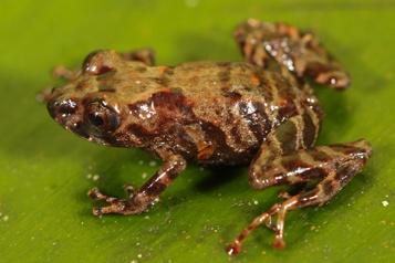 Découverte d'une nouvelle espèce de grenouille au Pérou)