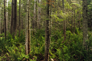 Les oppositions dénoncent la gestion des forêts québécoises)
