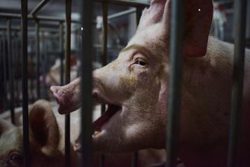 Peste porcine africaine: une responsabilité mondiale