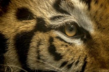Texas Un tigre recherché par la police de Houston)