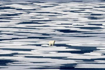 Sans phoques, les ours blancs se tournent—mal— vers les œufs)