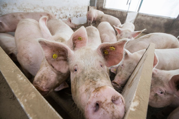 Peste porcine africaine: le Canada tente de mettre au point un vaccin