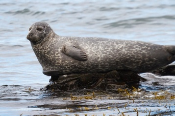Un virus s'apparentant à la rougeole tue des milliers de phoques